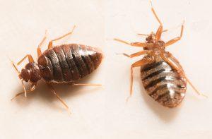 bed bugs Sandusky, bed bug extermination Sandusky
